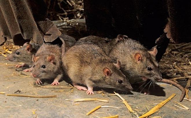 Kết quả hình ảnh cho diệt chuột